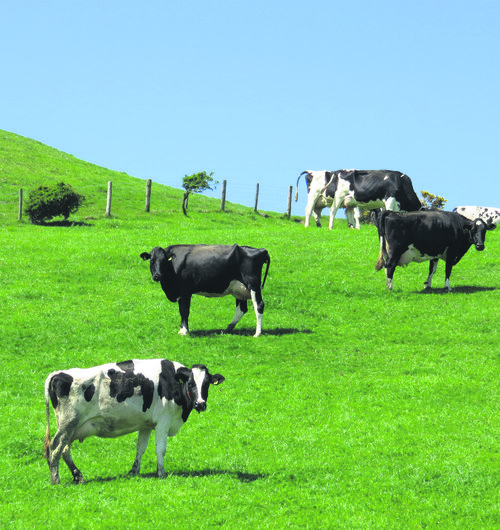 Dairy cows 2
